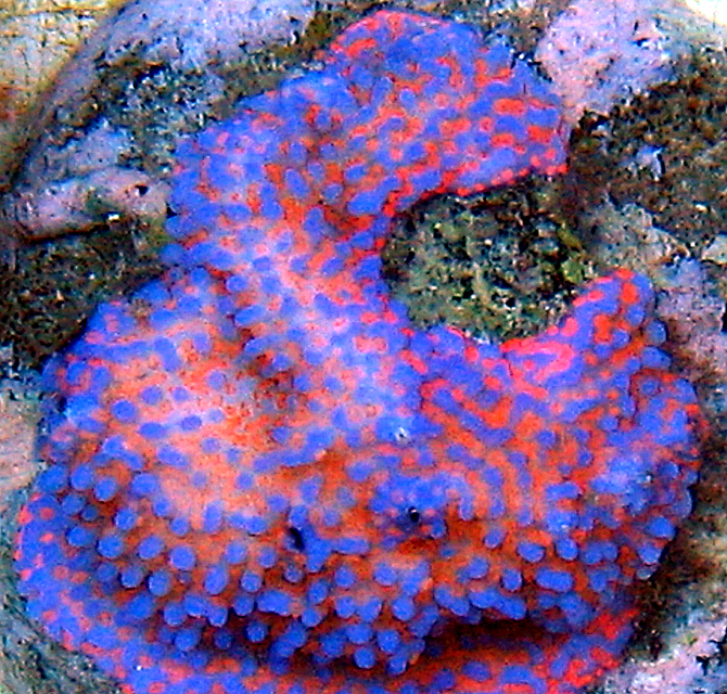 Superman Montipora http://www.pacificaquafarms.com/NewImages/Week31/IntenseSupermanMonti.htm