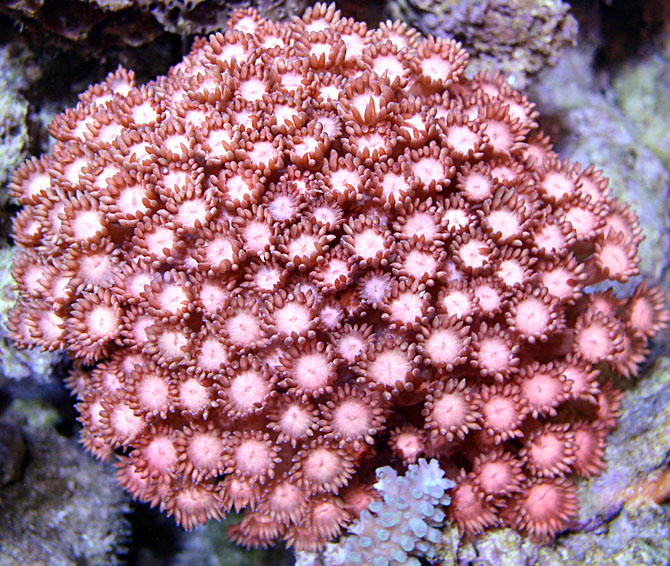 Pacific aqua farms coral gallery rosy disposition flower pot page mightylinksfo